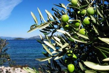 Istra je najbolja svjetska maslinarska regija!