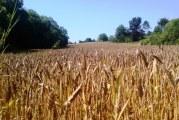 Objavljen Pravilnik o parametrima kvalitete i kvalitativnim klasama pšenice u otkupu pšenice roda 2017. godine