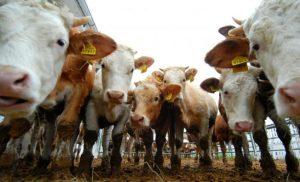 Europska unija i Sjedinjene Američke Države potpisale sporazum o uvozu govedine bez hormona
