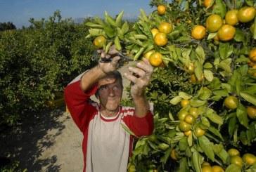 Hrvatski apsurd: rekordan urod mandarina nema tko pobrati?!